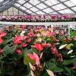 heel veel orchideeën maar ook wat Anthuriums...