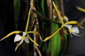 n1 Epidendrum parkinsonianum