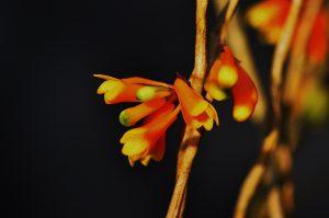 nr3 KAS Dendrobium subclausum