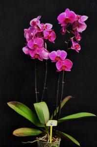 categorie PHALAENOPSIS