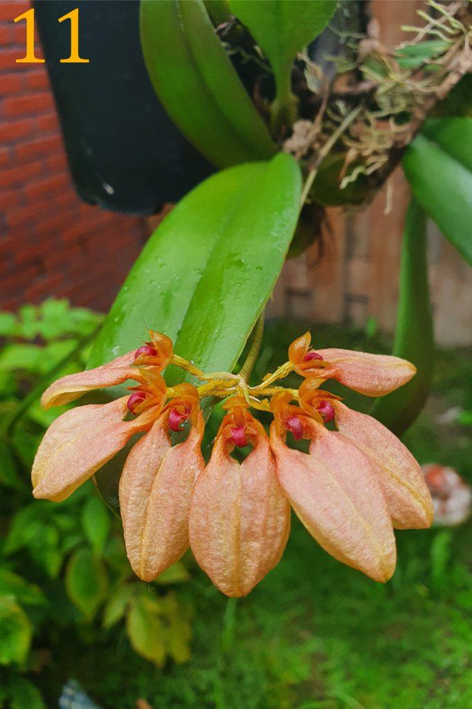 Bulbophyllum weberi philippines<br>Nel van der Meer