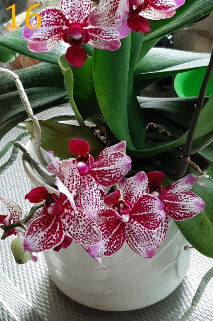 Phalaenopsis<br>Magda Dutrieux