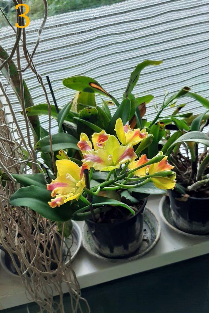 Cattleya hybride Jan Bakker