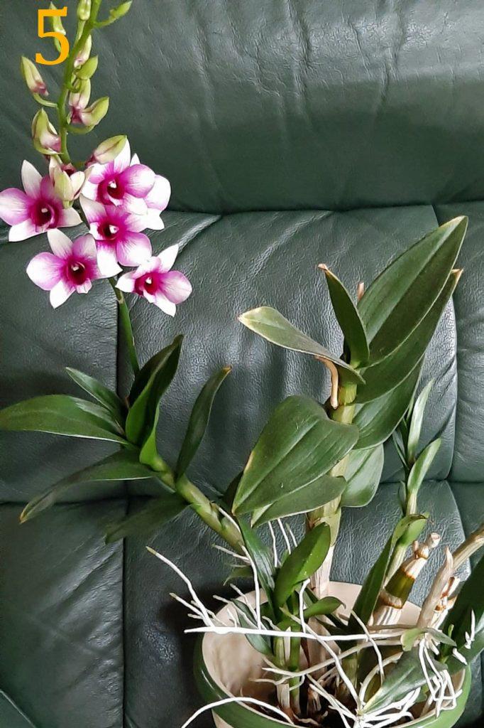 Dendrobium phalaenosis<br>Ria Bakker