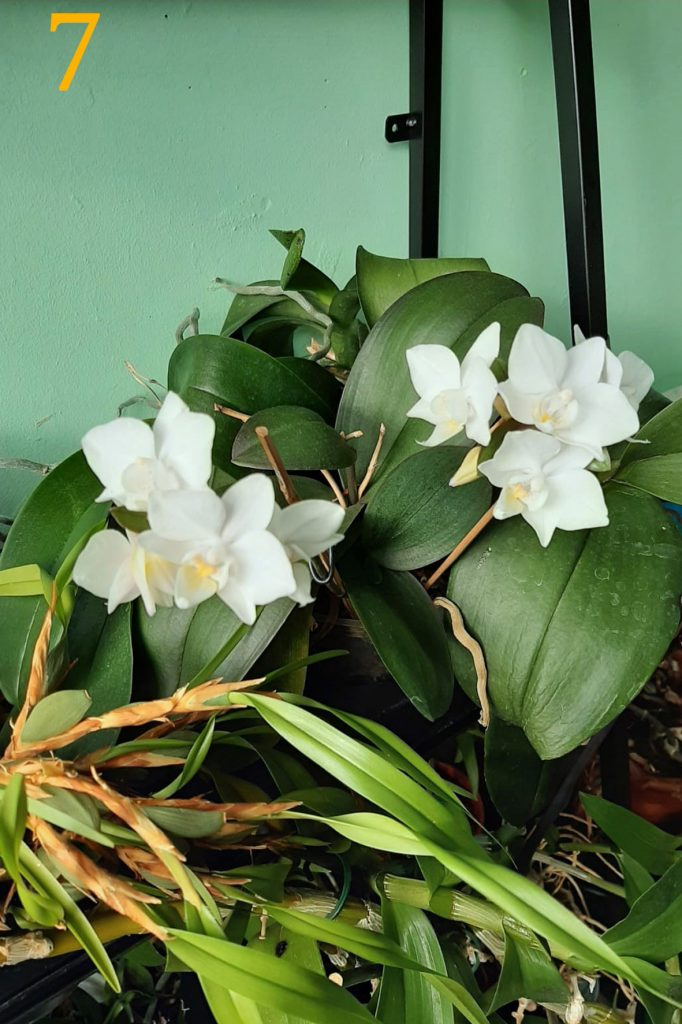 Phalaenopsis<br>Ria Bakker